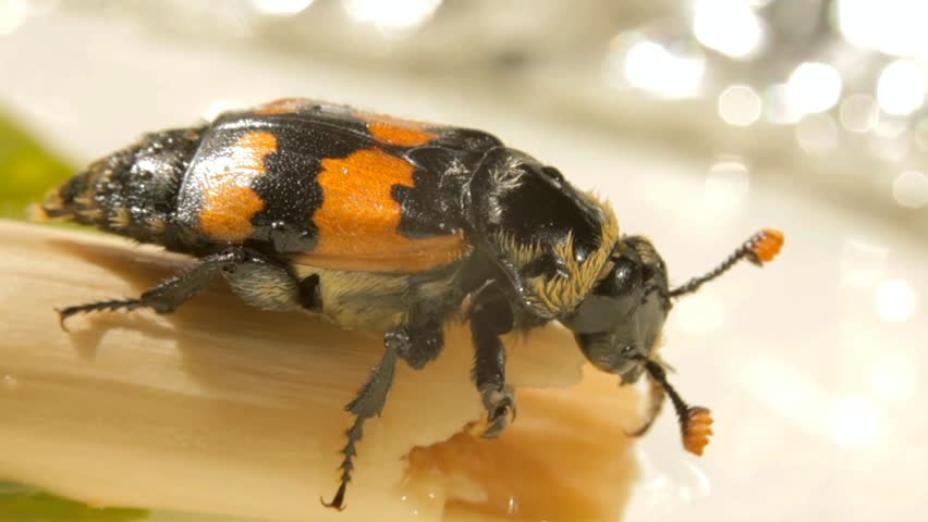 Header of American Burying Beetle