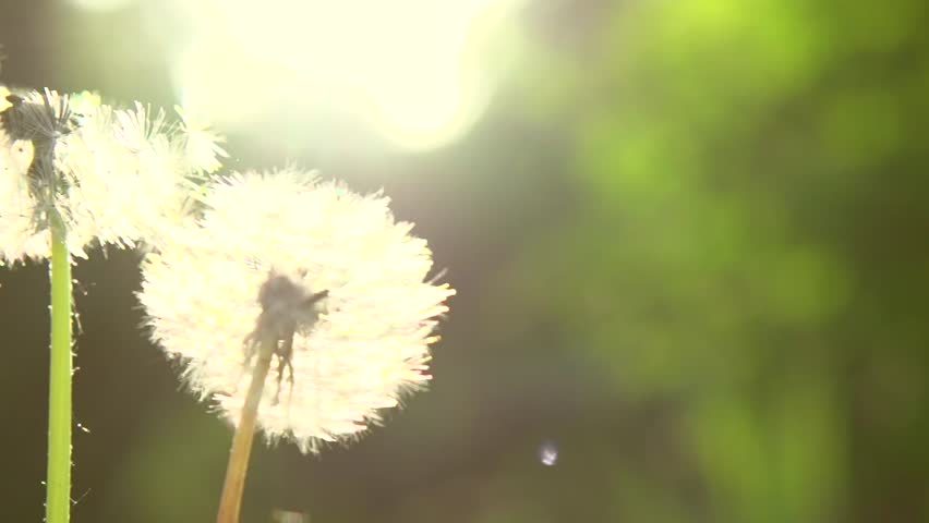 Dandelion field closeup over nature green blurred background. Dandelions seeds in sunlight blowing away. Slow motion video footage 1080p