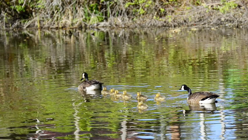 Canadian Geese or Branta Canadensis with goslings in a pond during the reproduction season in Spring