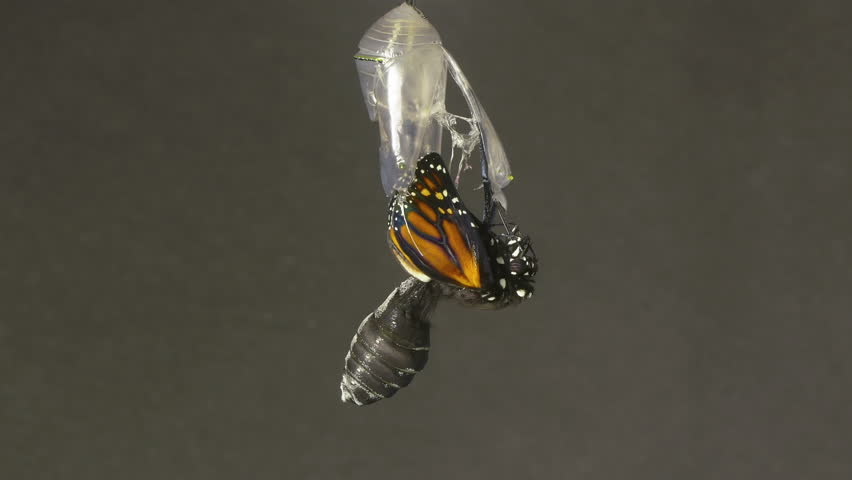 Monarch Butterfly Emerging from Chrysalis Speed Up. 4k