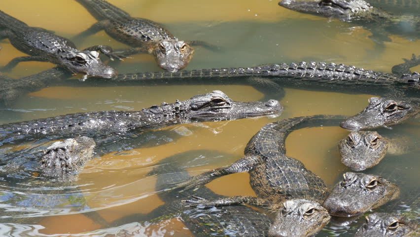 many crocodiles swimming in the water