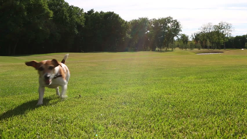 Active Jack russell terrier dog playing on the green field.  Happy summer time. Video footage. Canon 24-70mm - HD stock footage clip