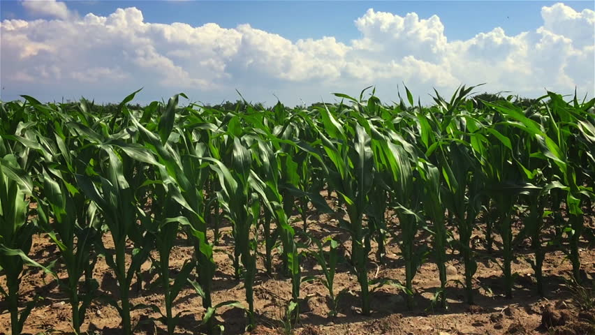 A large farmer's field full of newly sprouted corn blows gently in the wind on a bright summers day.