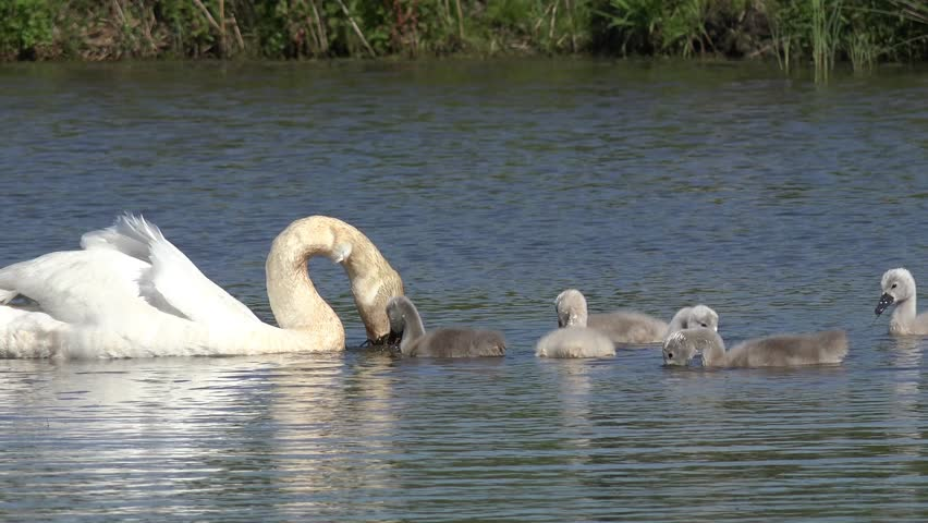 swan with ducklings swimming in the lake and search feed - 4K stock video clip