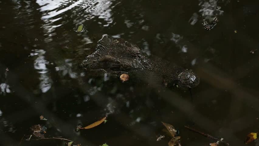Crocodile hiding in the water for prey - HD stock footage clip