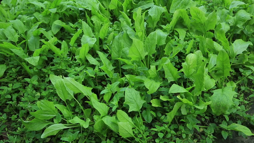 green spinach in growth at vegetable garden  - HD stock footage clip