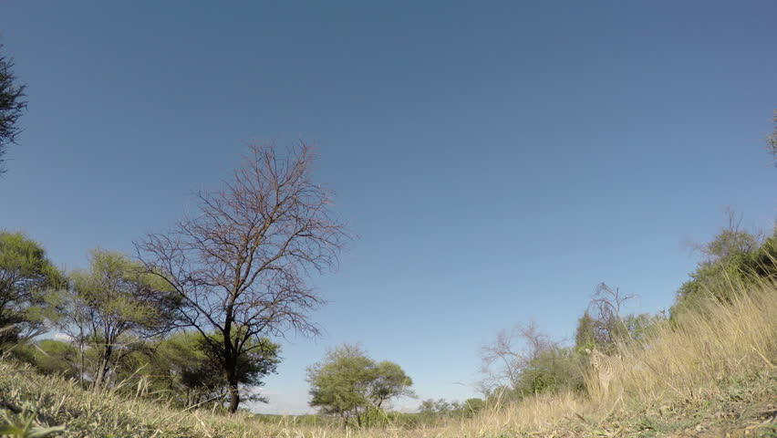 4K Spectacular footage of zebra walking over the camera, South Africa