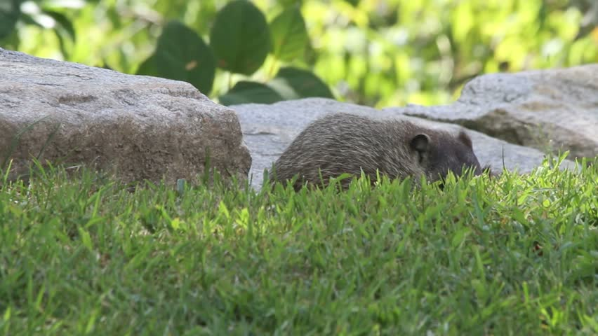 Groundhog in the shade of trees eating new grass lawn along a stone wall.
