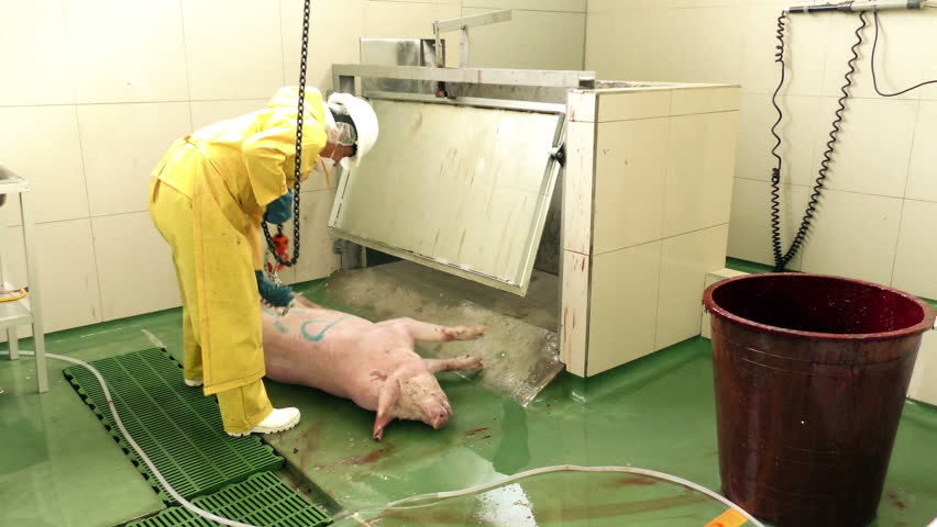 After the electrical stunning that renders the pig unconscious, the body is lifted on rail for vertical bleeding and sticking