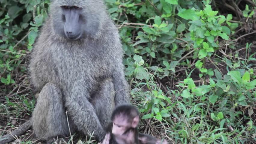 Baby baboon and his mother, safari wildlife Kenya, close up - HD stock video clip