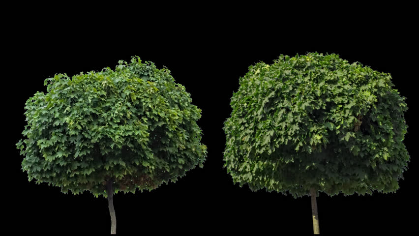 High quality 10bit footage of maple tree on the different wind with Alpha Channel. Made from RAW footage.