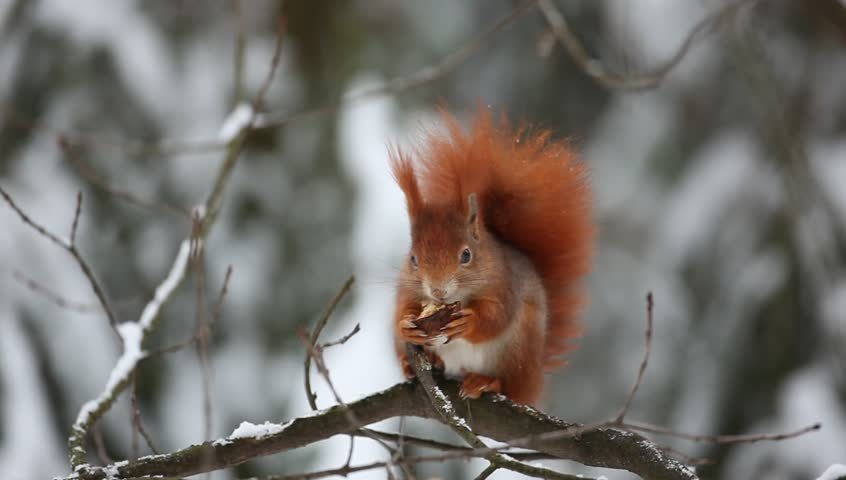 Cute red squirrel eats a nut in winter scene with snow - HD stock footage clip