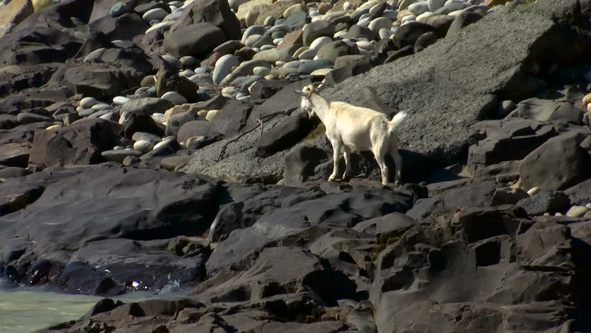 Mountain goats at river in the Caucasus - HD stock video clip