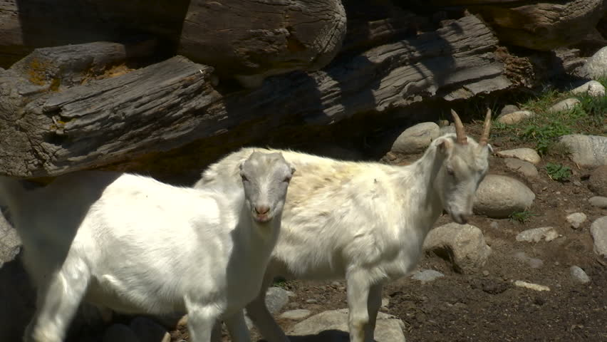 Mountain goats at river in the Caucasus - HD stock footage clip