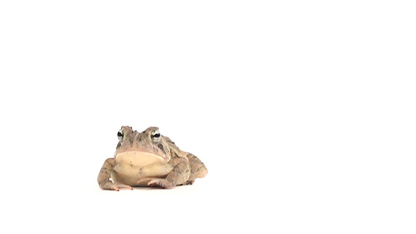 Slow motion clip of toad hopping on white background - HD stock video clip