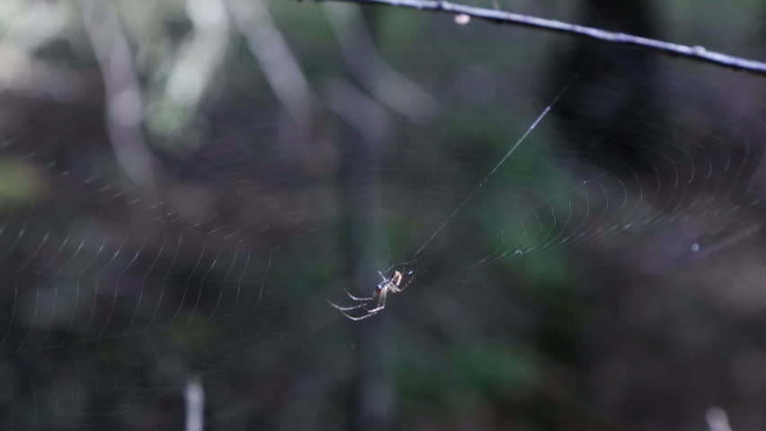 Spider in a web, the little forest spider in hides in a web.