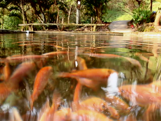 Tilapia underwater at a fish farm stock footage video for Illinois fish farms