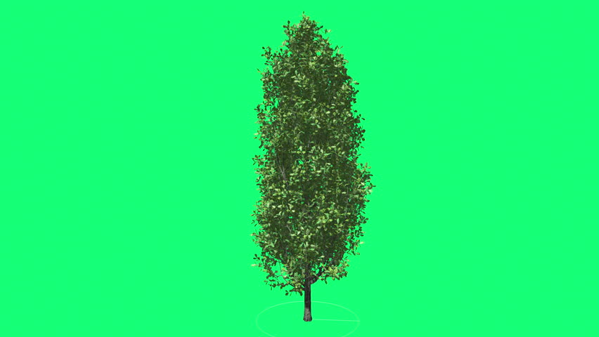 Cypress Oak Chromakey Green Tree Chroma Key Alfa Green Background ,Thin Tall Tree Swaying at the Wind Sun Rays, Fluttering Branches, Leaves, breeze, outdoors, studio, sunny day, spring, summer - 4K stock footage clip