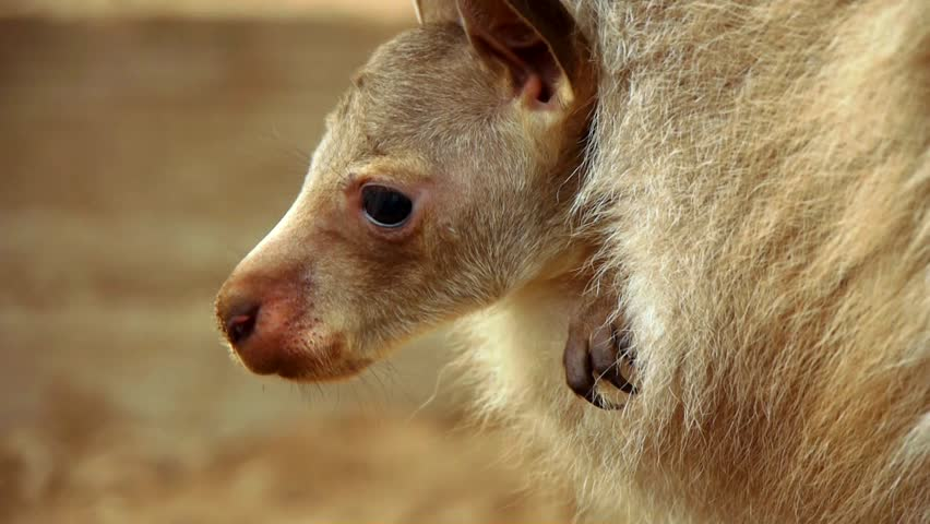 A Joey (baby kangaroo) with his head out of his mother's pouch.  Retracts head back into pouch.