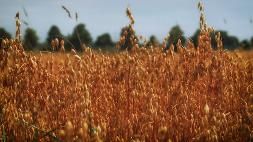 Oats growing in a farmers field HD stock footage. Oat crops ready to be harvested in an Oat field in Summer. Colour Graded ProRes. - HD stock footage clip