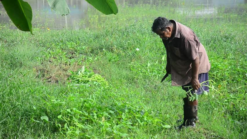 PHATTHALUNG, THAILAND - SEPTEMBER 20 : Thai farmer harvest morning glory at garden on September 20, 2015 in Phatthalung, Thailand. - HD stock footage clip