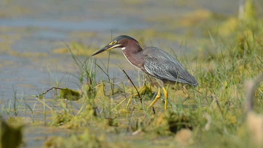 A green heron hunts for a meal along the a shoreline in Florida - HD stock video clip