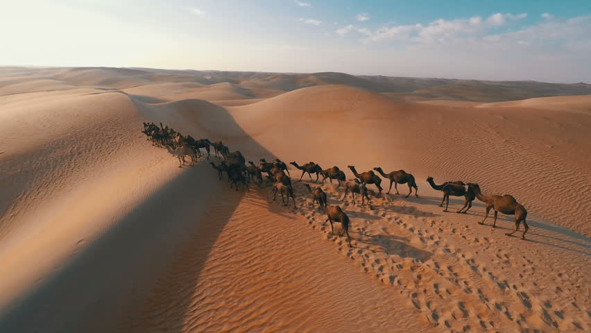 Group of camels being herded over sand dunes in the Arabian desert