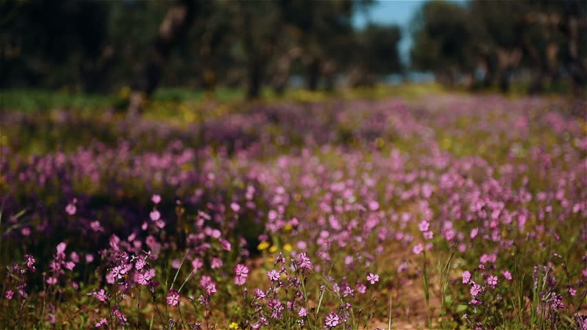Lots of beautiful pink flowers slowly wawing by soft wind at shiny day. Depth of field effect. Camera focus changing.