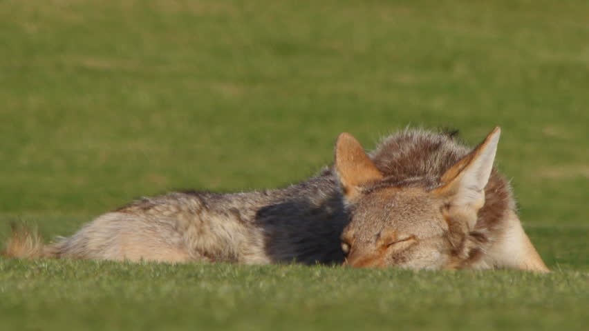 Coyote naps on green grass, awoken, harassed by a fly that crawls around his eye, buzzes around his head. 1080p - HD stock video clip