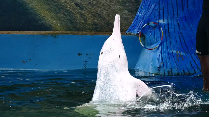 Bangkok,Thailand, dolphins, October 13: Performance of BOTTLE NOSE DOLPHIN (Indian ocean bottle nose dolphin) on October 13,2015 in Bangkok,Thailand.