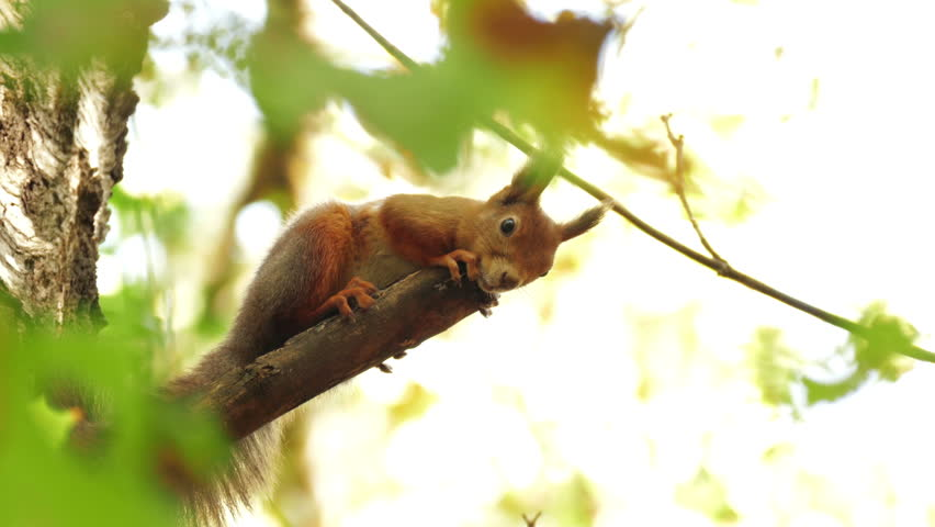 Red Squirrel at the Chestnut, Close Portrait - 4K stock video clip