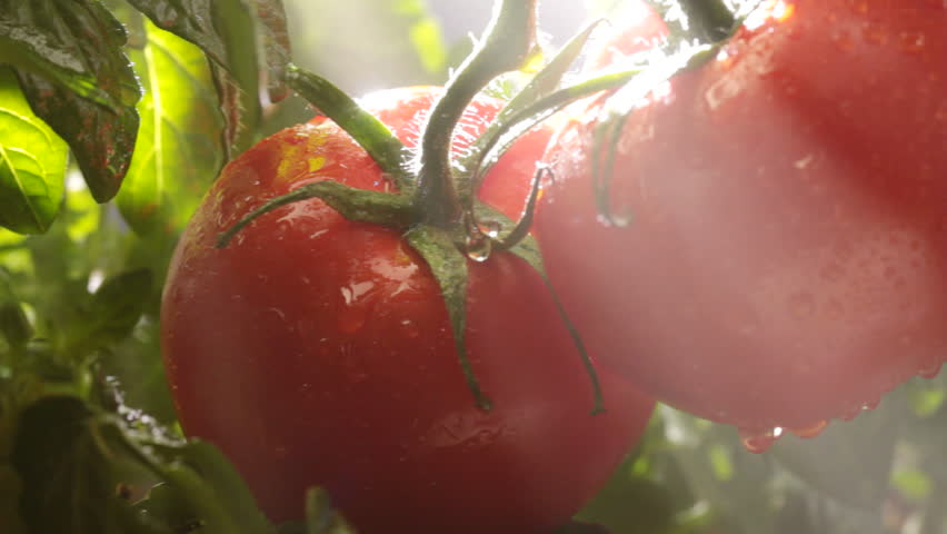 Camera pans across ripe tomatoes on the vine with morning mist