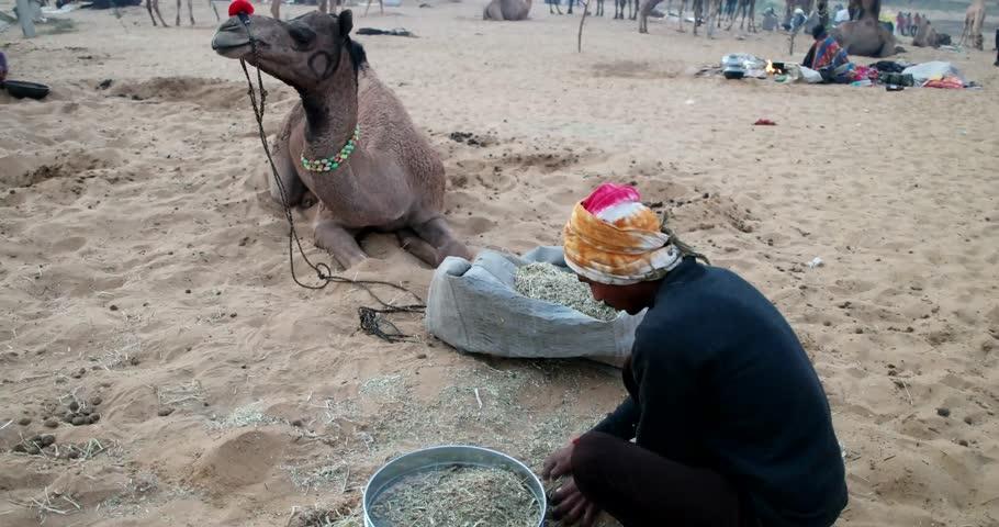 Pushkar, India-Circa November, 2015:Camel and camel trader an early morning during Camel Fair in Pushkar. Camel Fair is a yearly event in pushkar. - 4K stock video clip