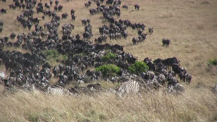 Large herd of wildebeests migrating - HD stock footage clip
