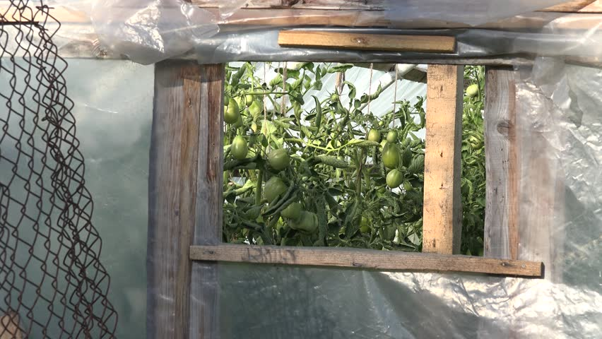 Raw green tomatoes growing in rural garden polythene greenhouse hothouse. Zoom out shot. 4K - 4K stock video clip
