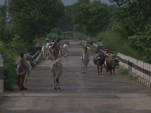 Men and cows walk down a country road. - SD stock footage clip