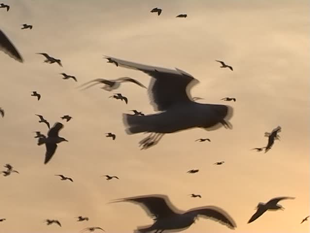 Seagull flight - SD stock footage clip