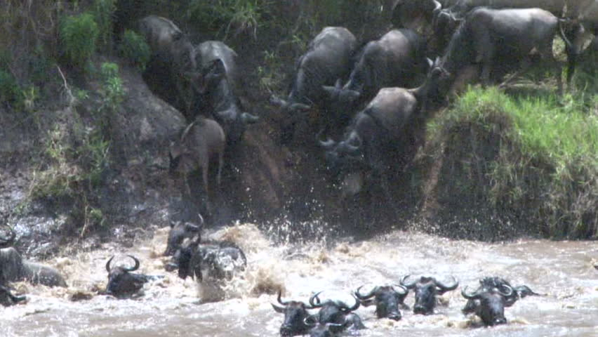 Wildebeests crossing the Mara River. - HD stock video clip
