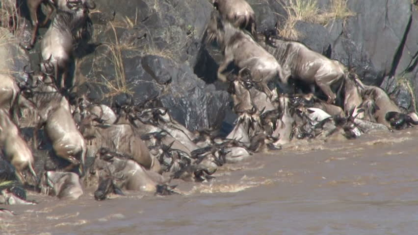 Wildebeests crossing the Mara River. - HD stock footage clip