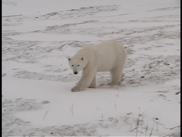 A polar bear walks along a frozen shoreline near Churchill, Alaska.