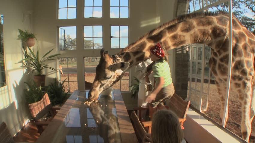 KENYA - CIRCA 2009:A giraffe sticks its head through the window of a mansion to get a free meal circa 2009 in Kenya.