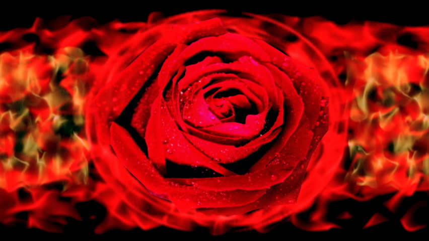 fire ring around the rose. flower engulfed in flames