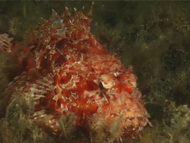 Slow motion red scorpion fish eat an anchovy in a for What do wild fish eat
