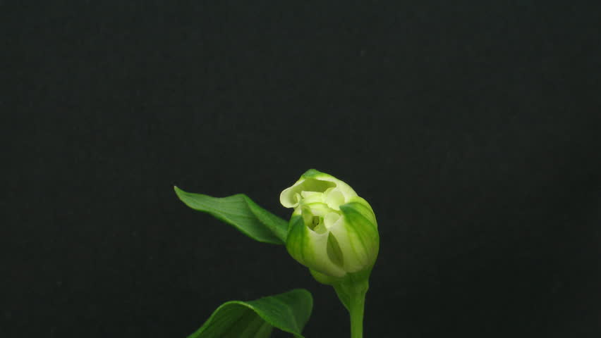 Time-lapse of opening white peruvian lily 1