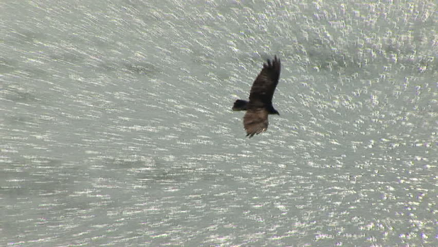 Turkey vulture soars through sky - HD stock video clip