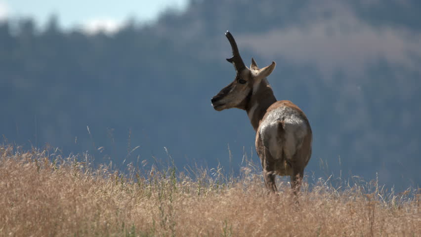 Header of American Antelope