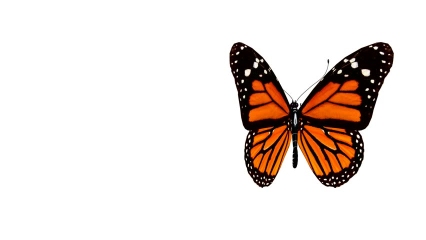 Butterfly animation.  - HD stock footage clip
