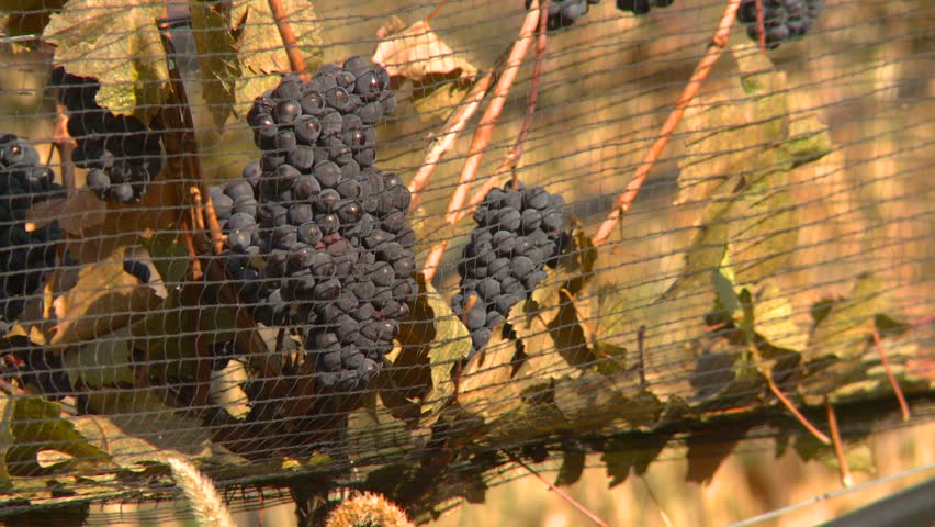 agriculture vineyard grapes pan reveal - HD stock footage clip