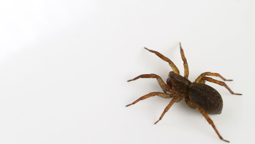 Female Trochosa terricola (Ground Wolf-spider) spider on a neutral white background, part of the family Lycosidae - Wolf spiders - HD stock video clip