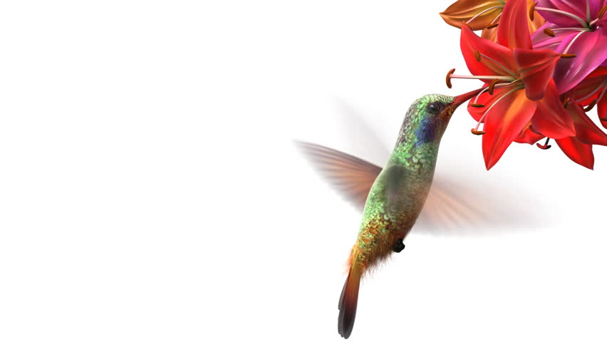 Humming bird, beautiful 3d animation - HD stock video clip